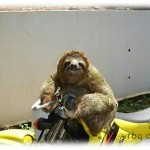 Arnold the Sloth Tying to Start My Motorcycle........Busted!
